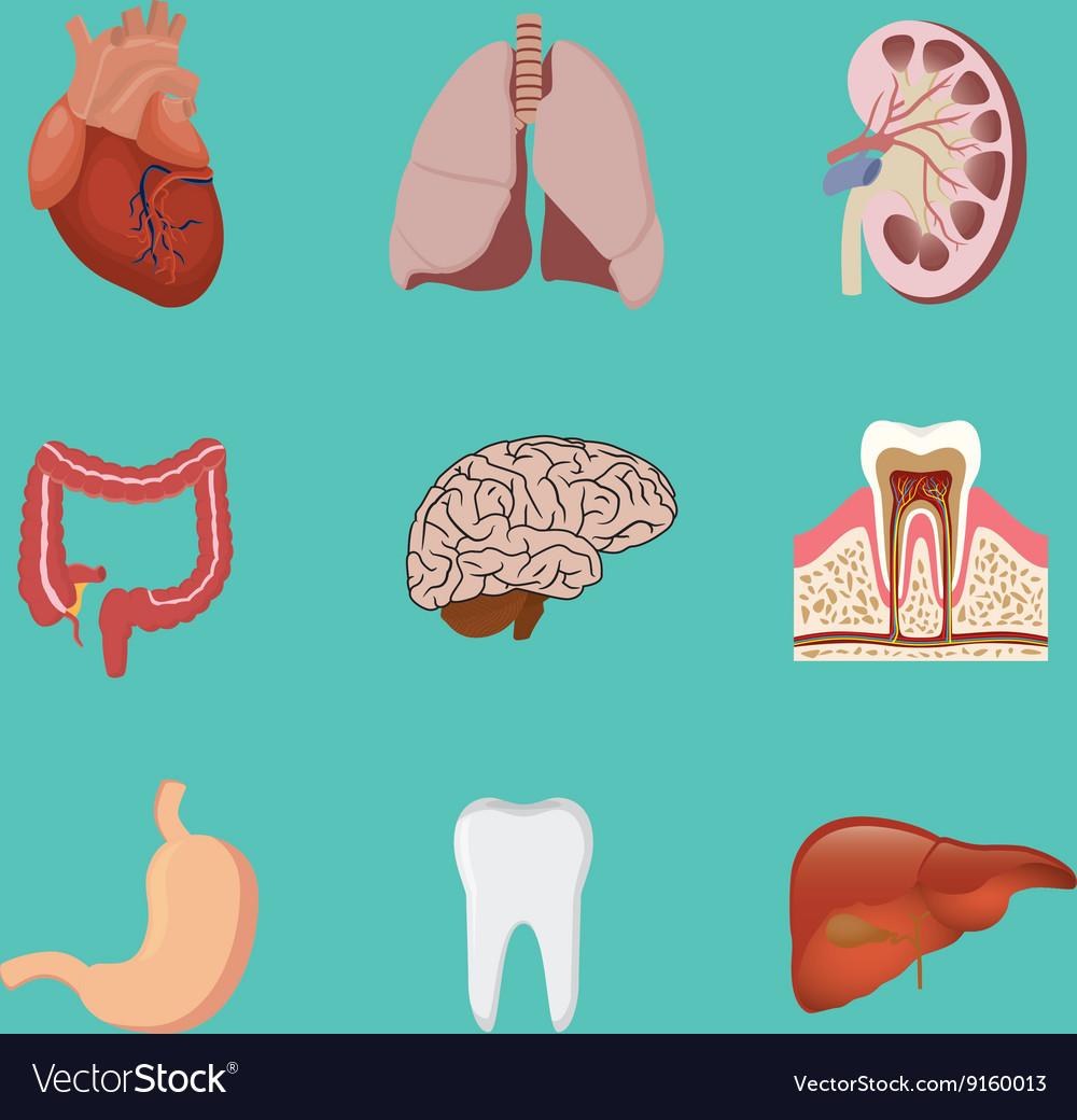 Human Anatomy Organ Heart Lunge Kidney Brain Tooth