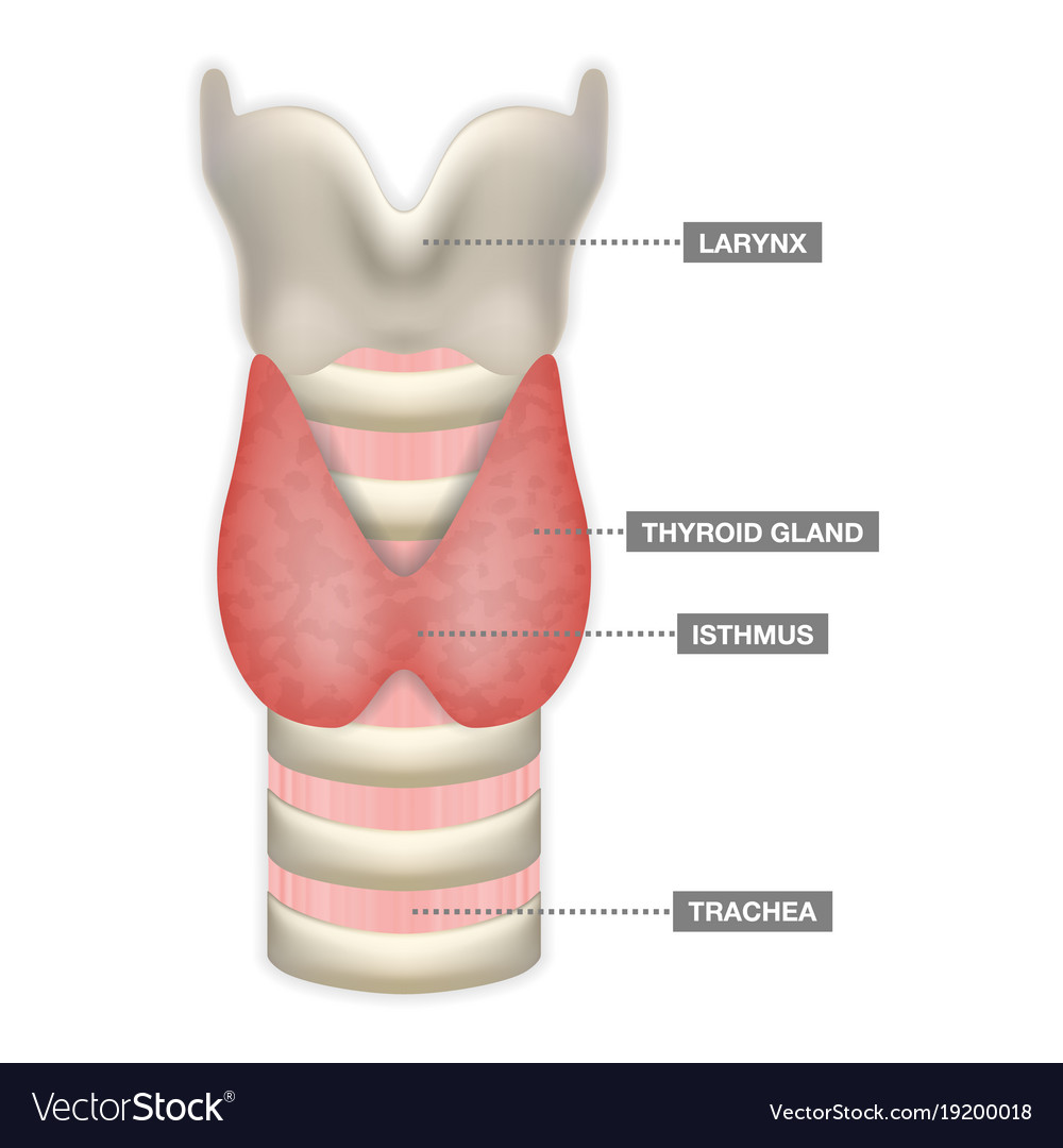 Anatomy Of Thyroid Gland With Trachea Isthmus And Vector Image