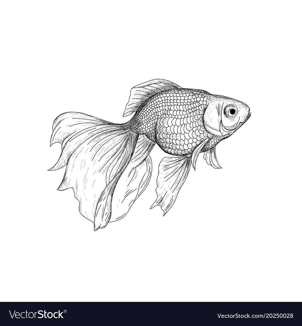 Goldfish drawing engraving