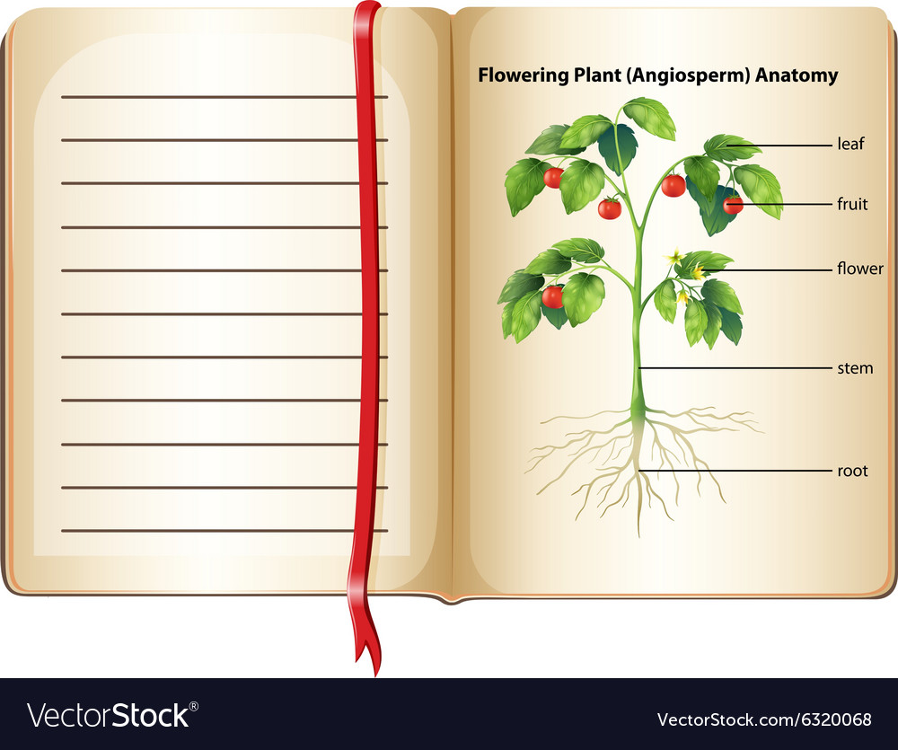 Flowering plant anatomy on page Royalty Free Vector Image
