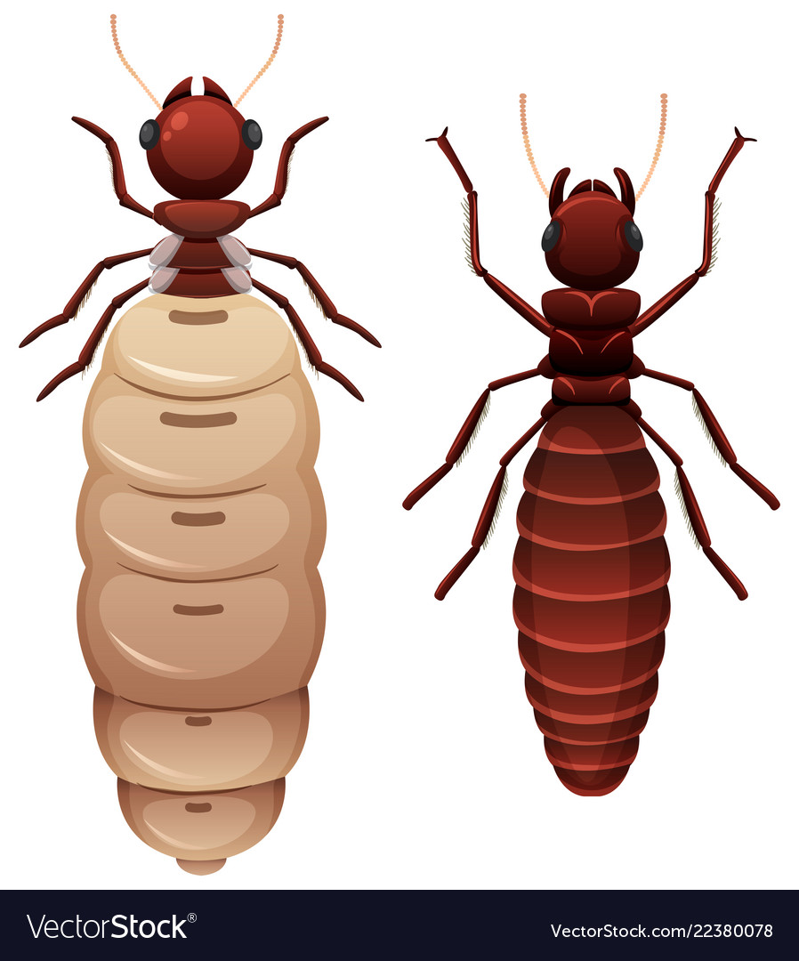 Two Termites White Background Royalty Free Vector Image
