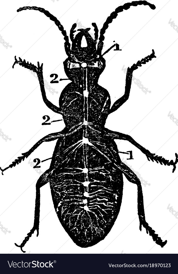 Diagram nervous system a beetle vintage vector