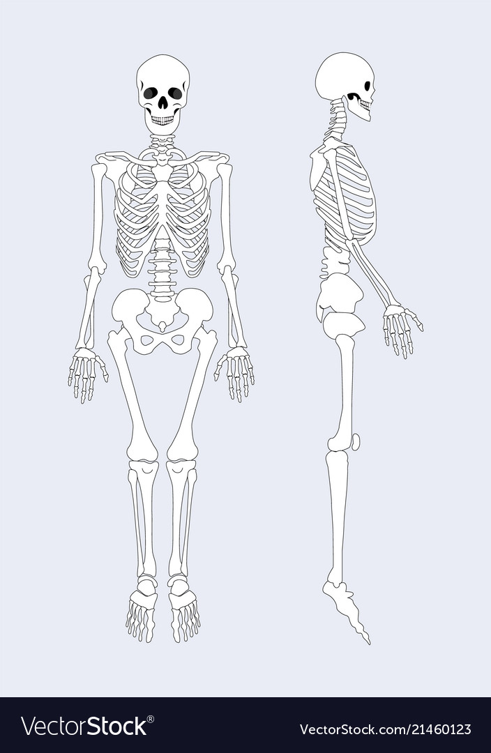 Skeletal system of human body Royalty Free Vector Image
