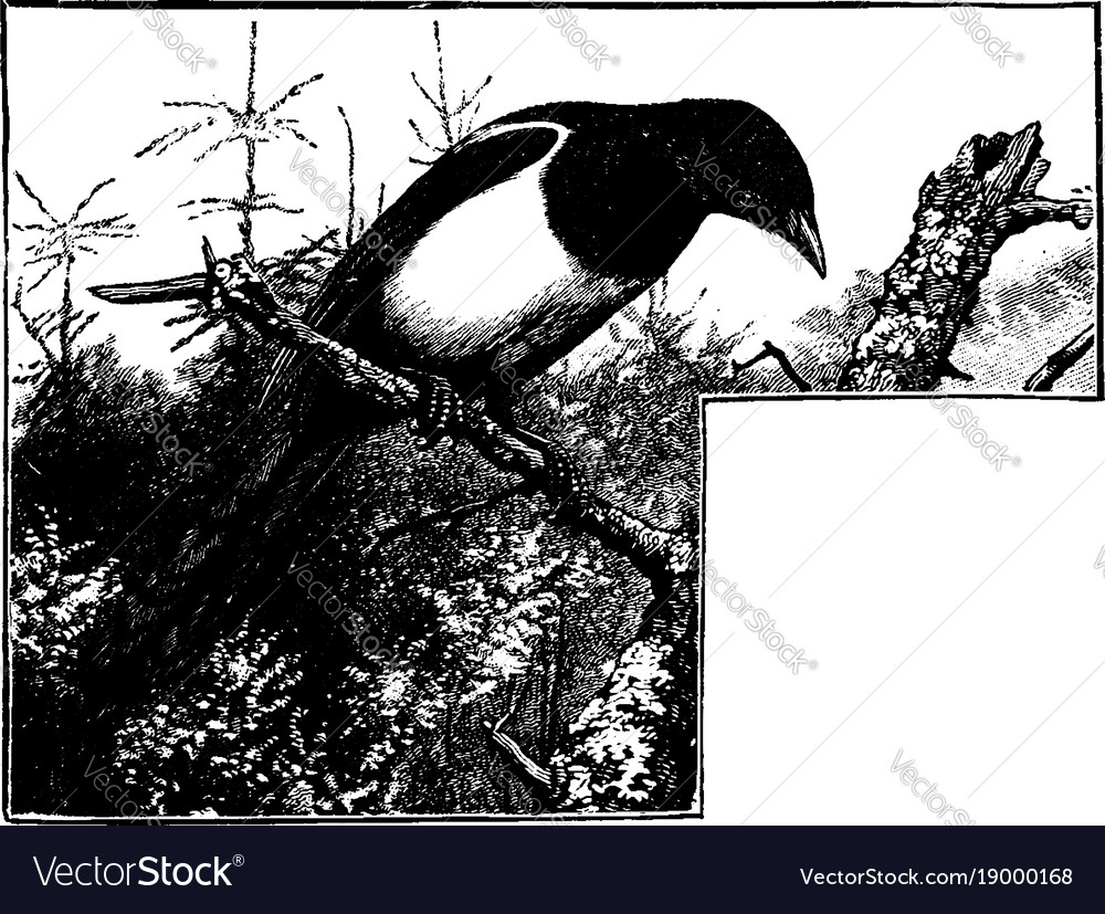 A magpie sitting on a tree branch looking down