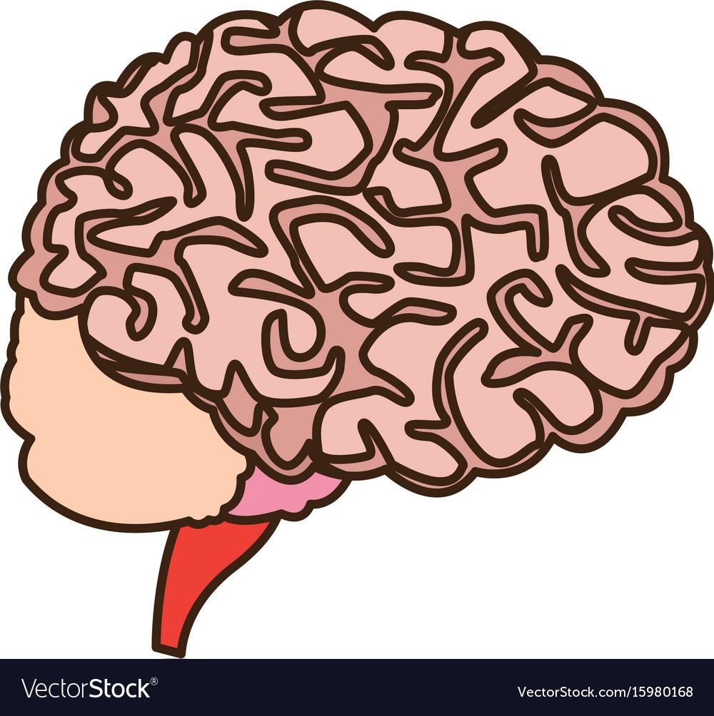 Human Brain For Medical Healthy Memory Anatomy Vector Image