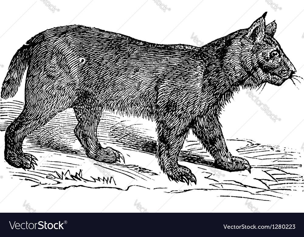 Lynx vintage engraving vector image