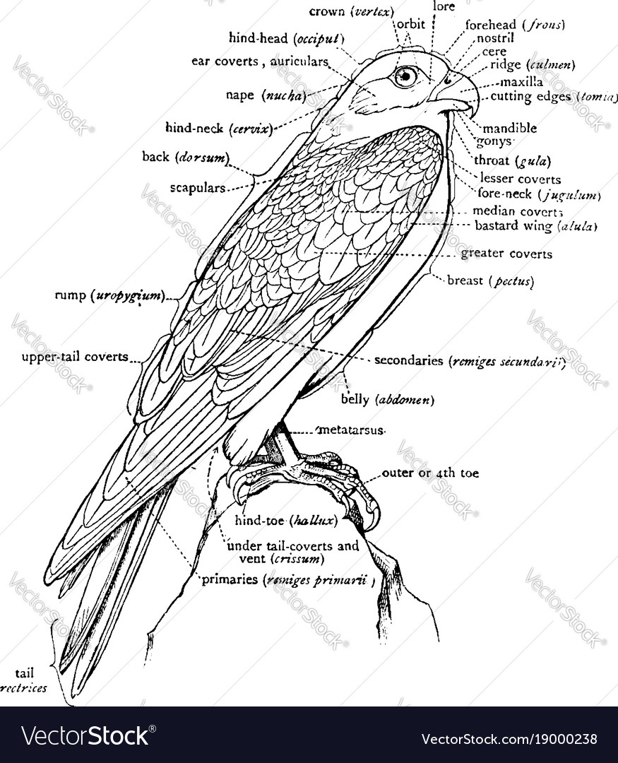 A Labeled Diagram Of A Falcon To Show The Vector Image