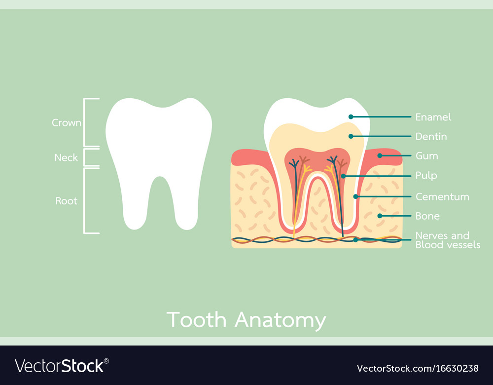 Healthy tooth anatomy with word Royalty Free Vector Image