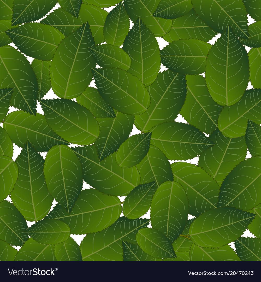 Camellia leaves on white background
