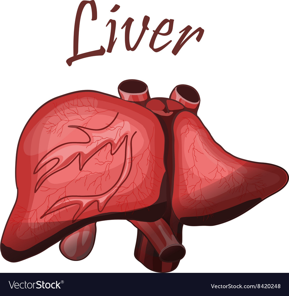 Human Liver In Digestive System Royalty Free Vector Image