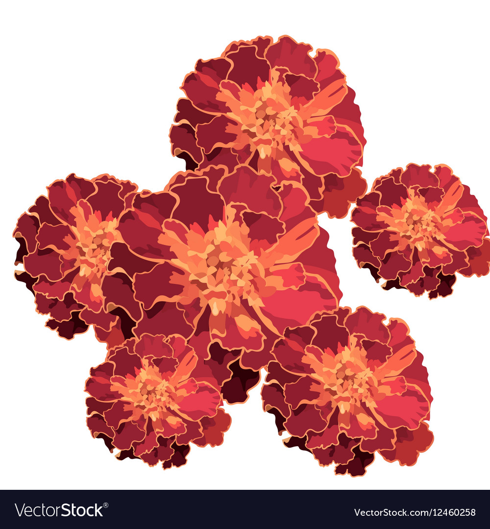Marigold Flower Isolated On White Royalty Free Vector Image