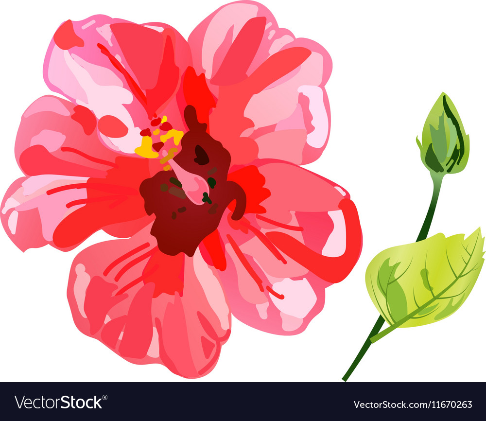 Red Watercolor Hibiscus Flower Royalty Free Vector Image