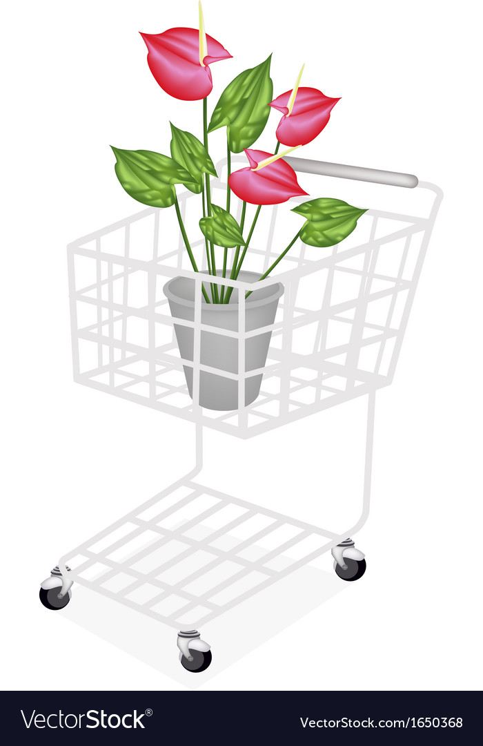 Anthurium Flowers or Flamingo Lily vector image