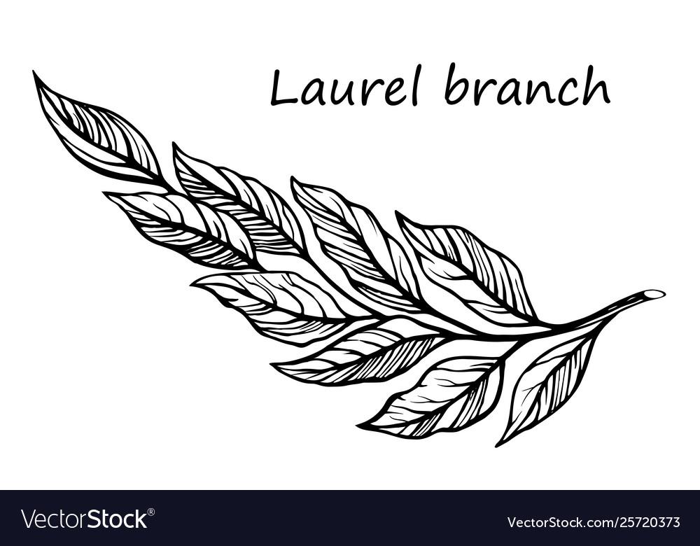 Laurel branch sketch