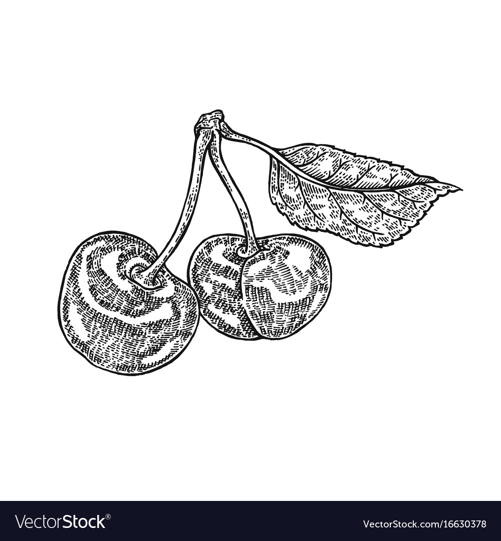 Hand drawn cherry branch fruit
