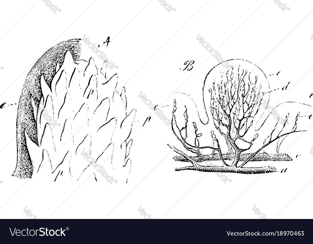 Fungiform Papillae Vintage Royalty Free Vector Image