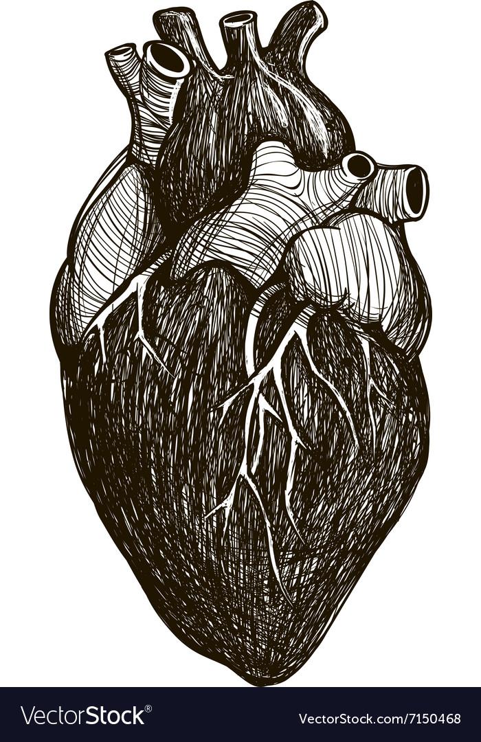 Human Anatomical Heart Royalty Free Vector Image