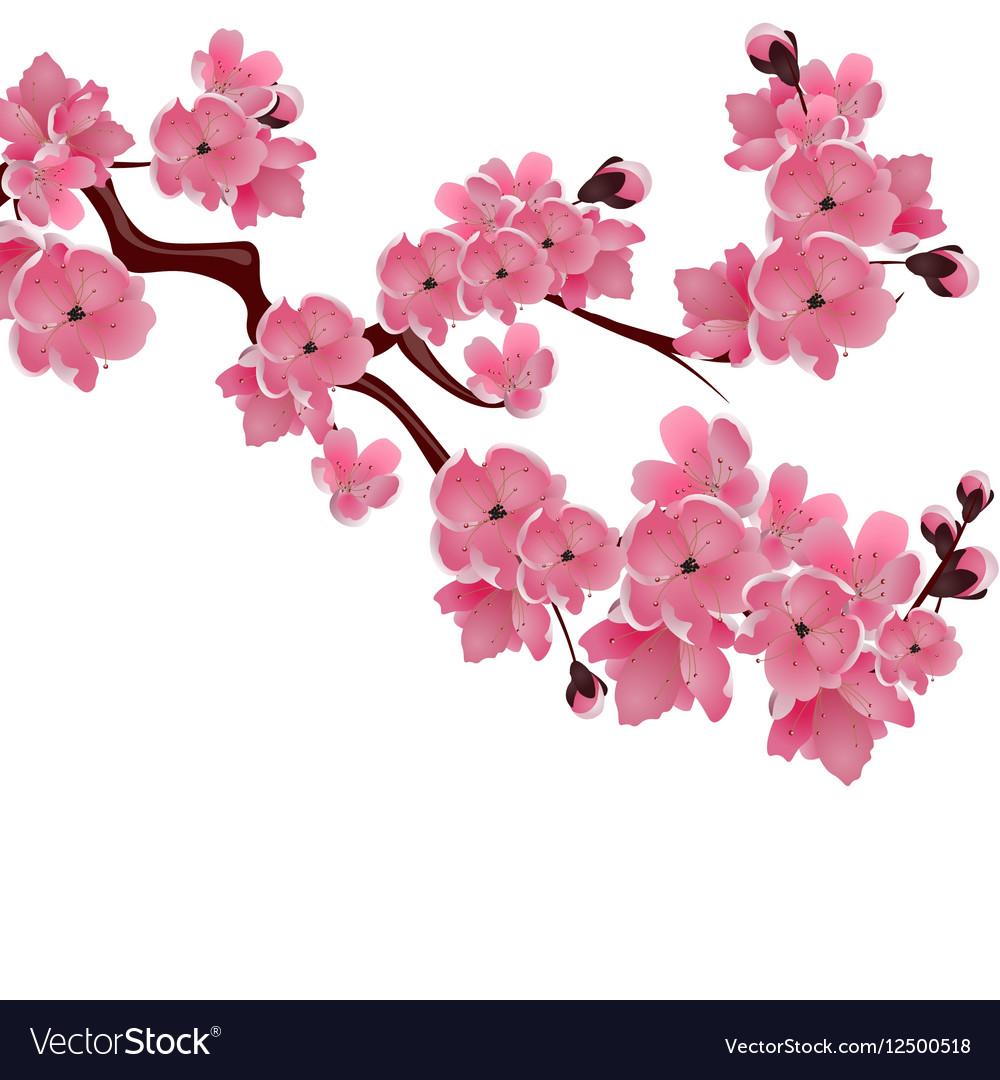 Flowering japanese cherry sprig of pink sakura vector image mightylinksfo