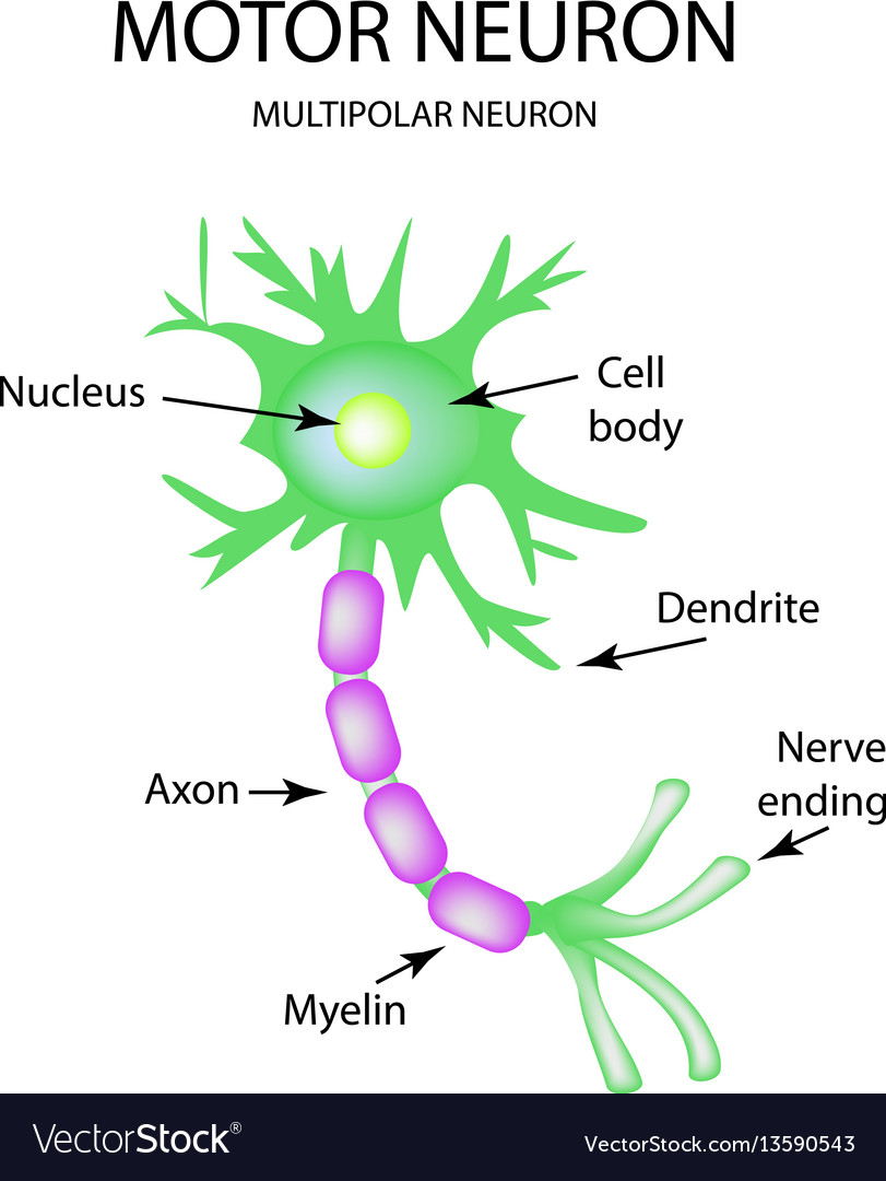 The structure of the motor neuron infographics on