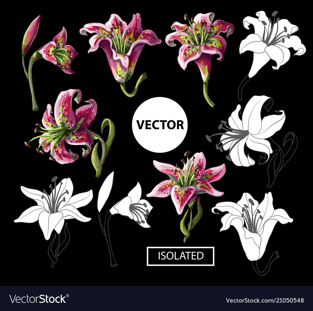 Lilies flowers isolated on a black background vector image izmirmasajfo