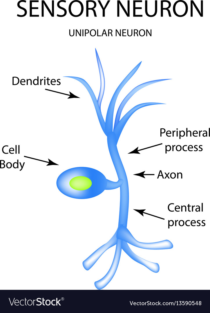 The structure of the sensory neuron infographics