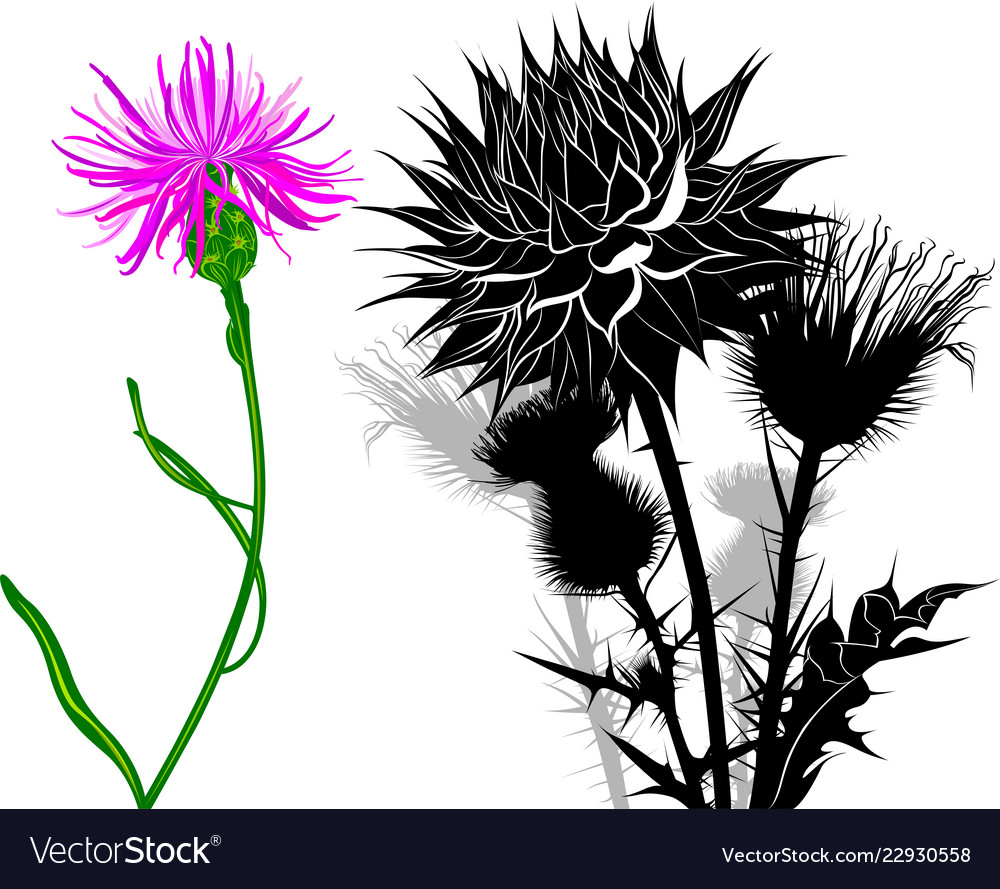 Milk Thistle Flowers Isolated On White Background Vector Image
