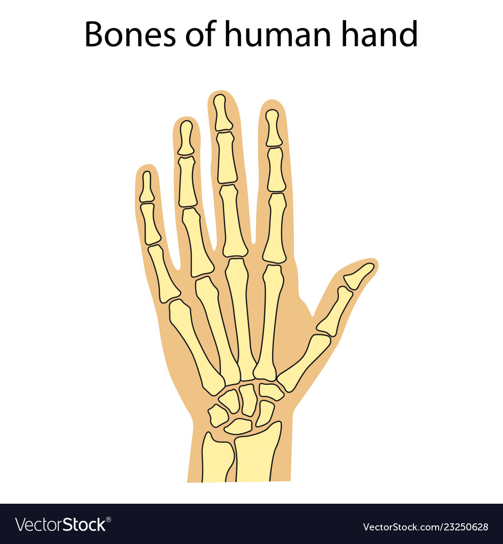 Human Hand Skeletal Anatomy Royalty Free Vector Image