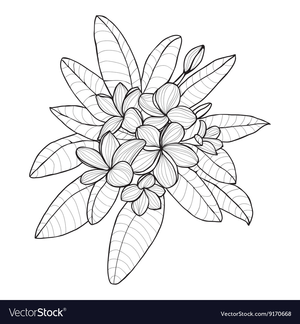 Bouquet with Plumeria or Frangipani flower vector image