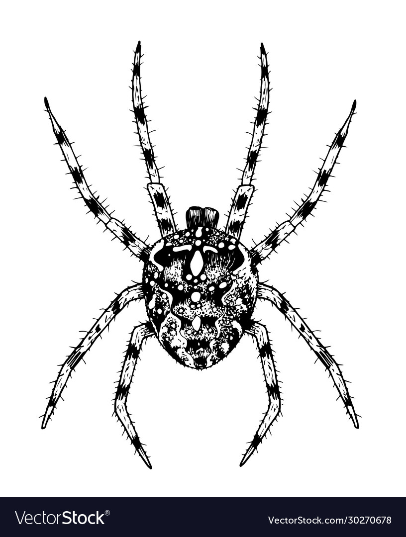 Spider hand-drawn with ink