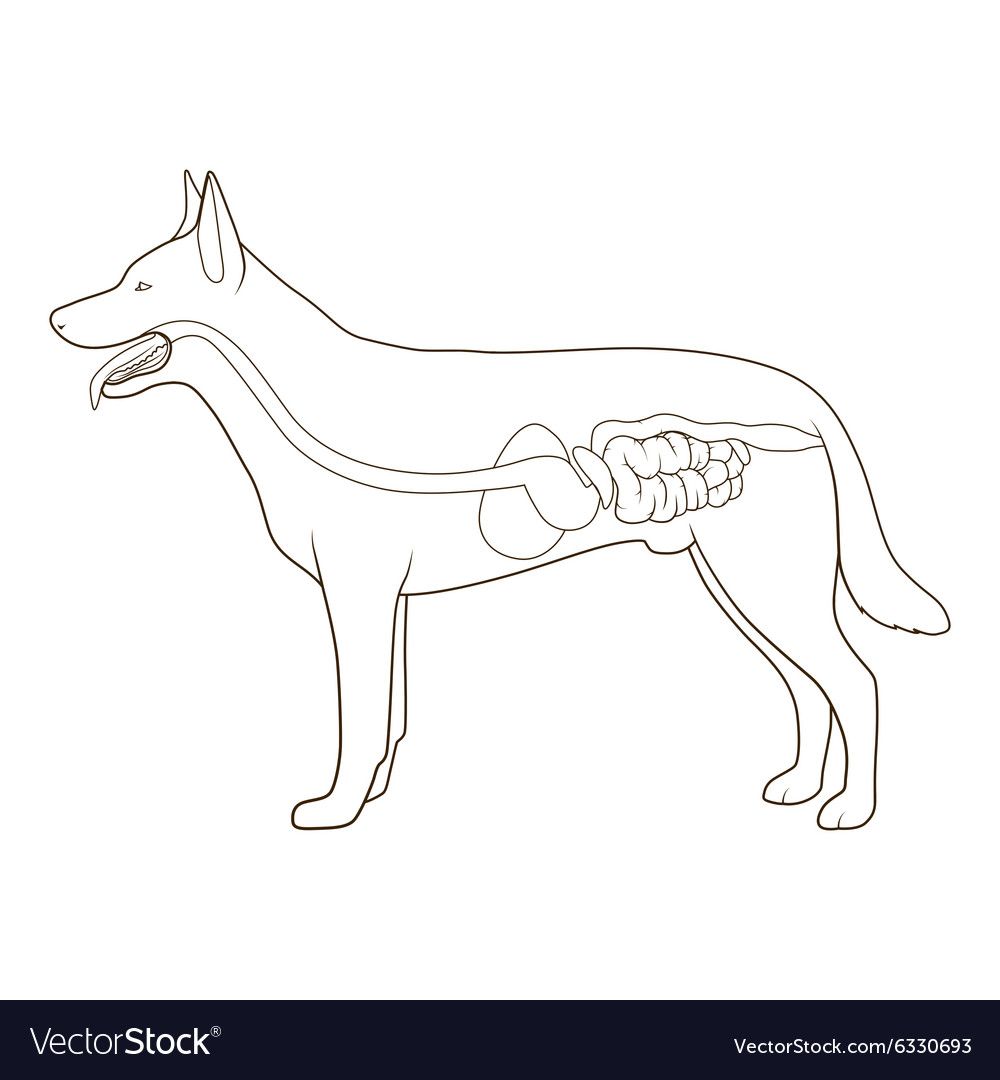 Digestive System Of The Dog Royalty Free Vector Image