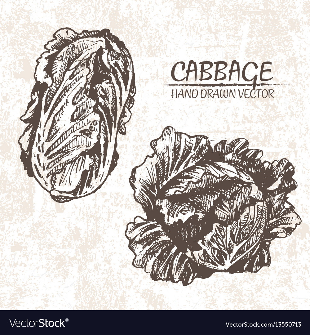 Digital detailed cabbage hand drawn
