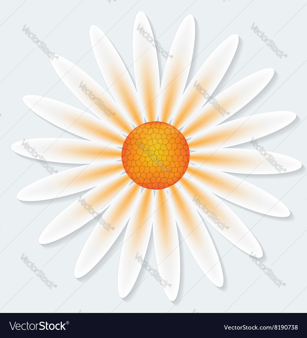 Camomile flower on gray background vector image