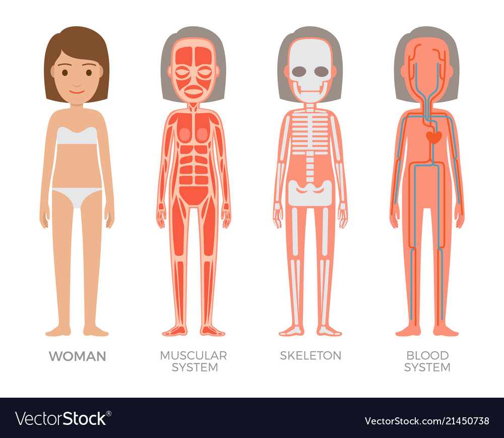 Woman Muscular Skeleton And Blood Systems Struct Vector Image