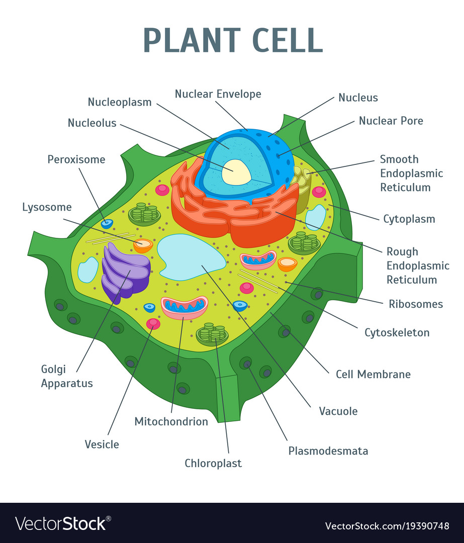 Cartoon plant cell anatomy banner card poster Vector Image