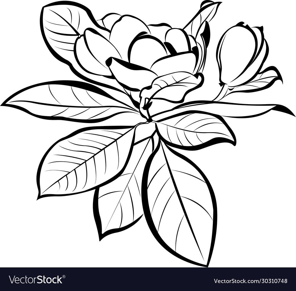 Magnolia floral botanical flowers