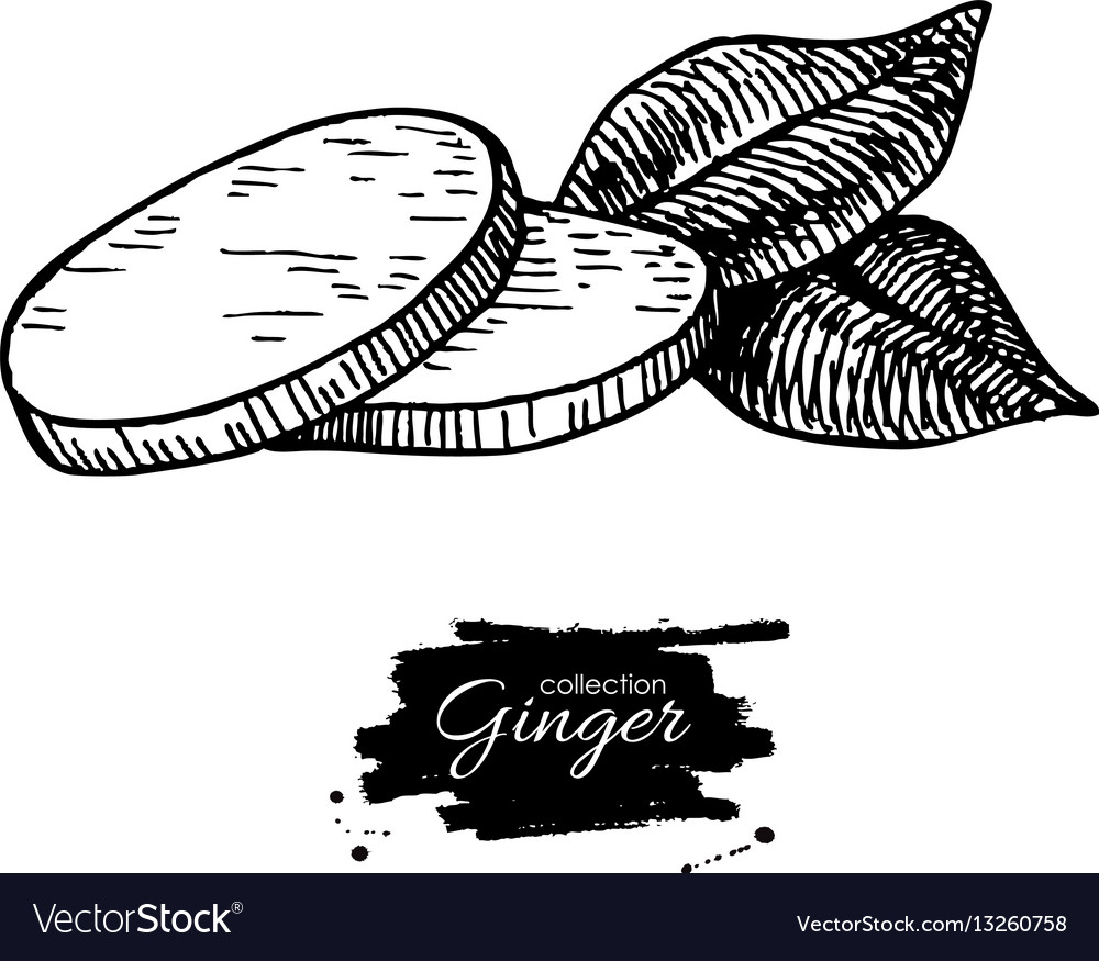 Ginger root sliced pieces hand drawn