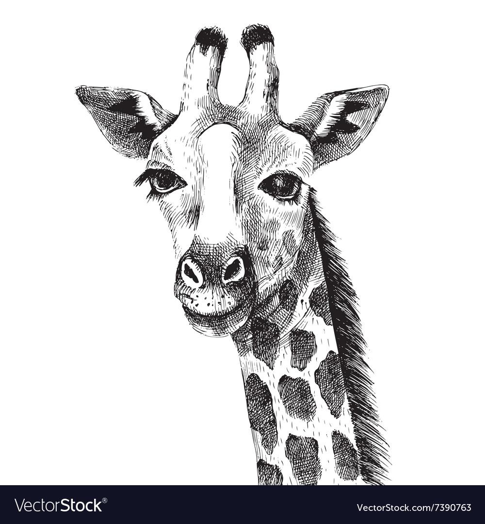 Hand drawn giraffe portrait