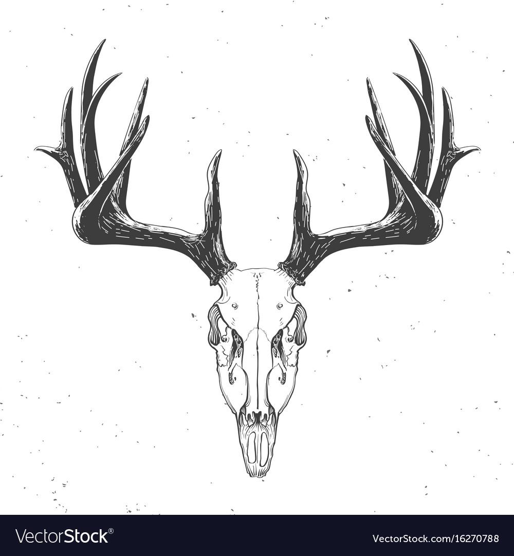 Deer skull on white