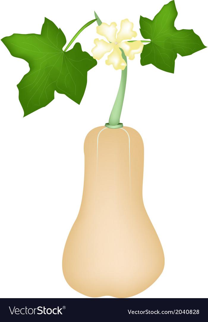 Fresh butternut squash plant on white background vector image mightylinksfo