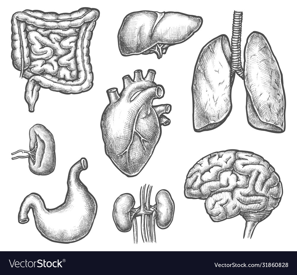 Set isolated internal human organ sketch