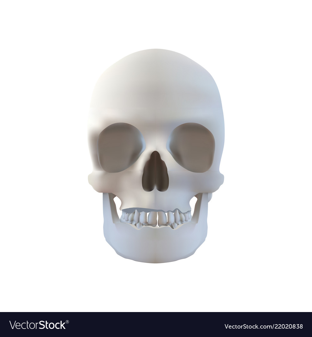 Realistic skull - isolated on white