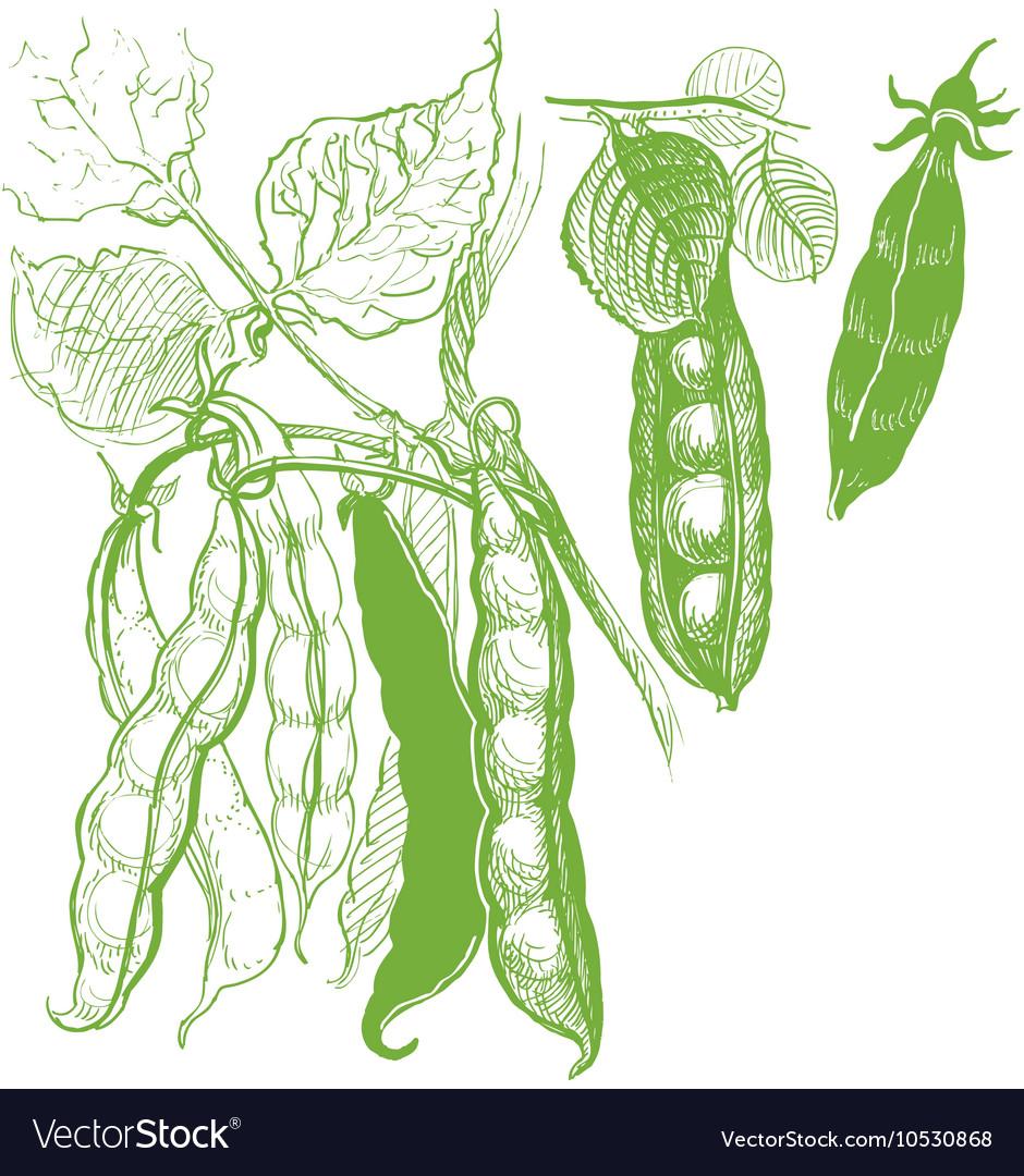 Peas vegetable vintage drawing