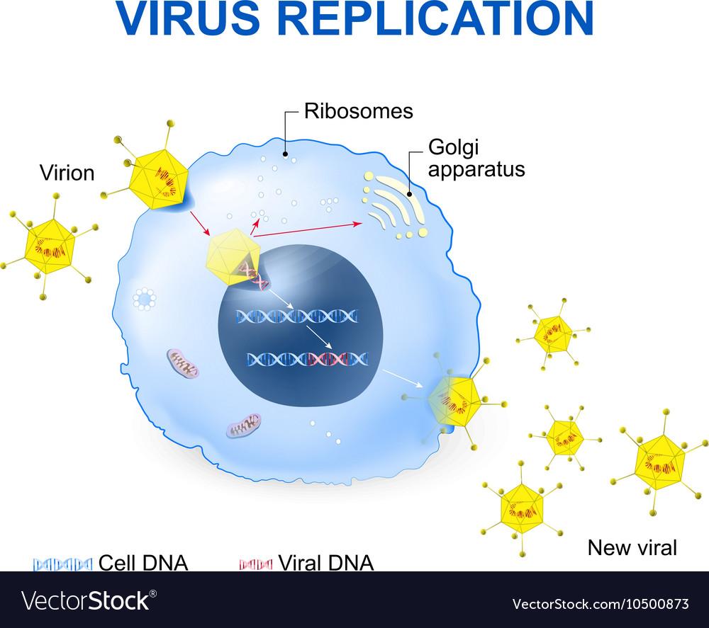 Virus replication