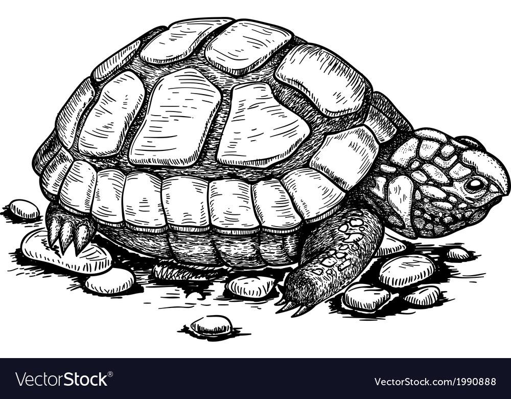 Engraving turtle vector image