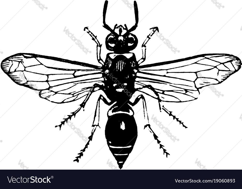 Potter wasp vintage vector image