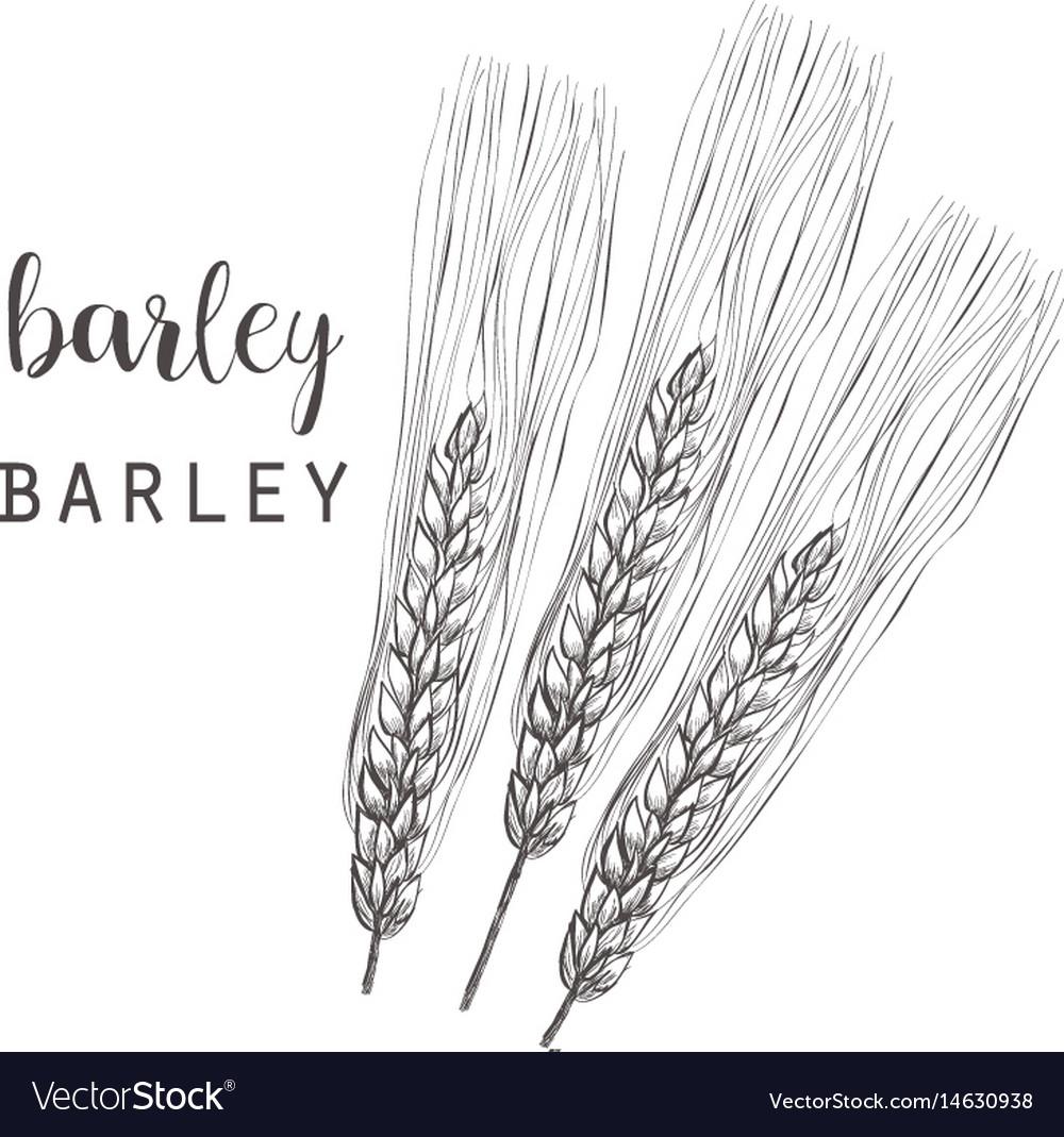Barley sketch ear of barley vector image