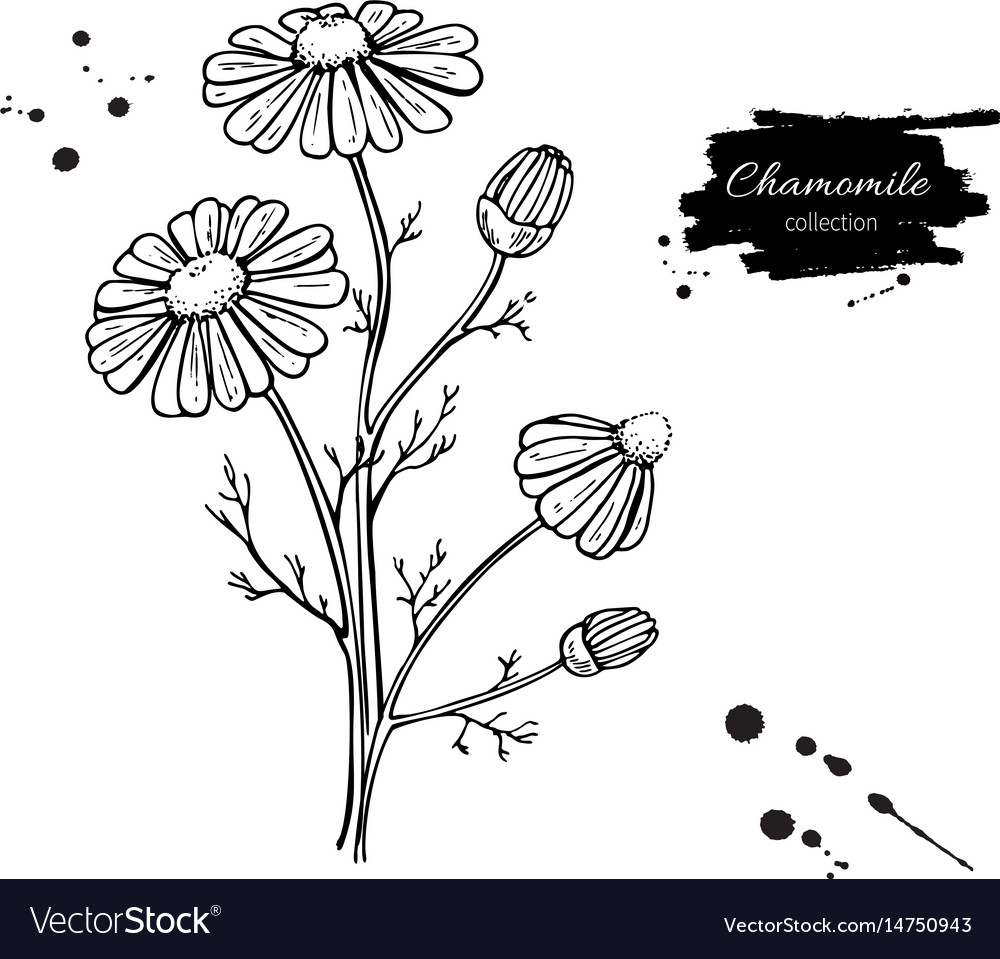 Chamomile drawing set isolated daisy wild