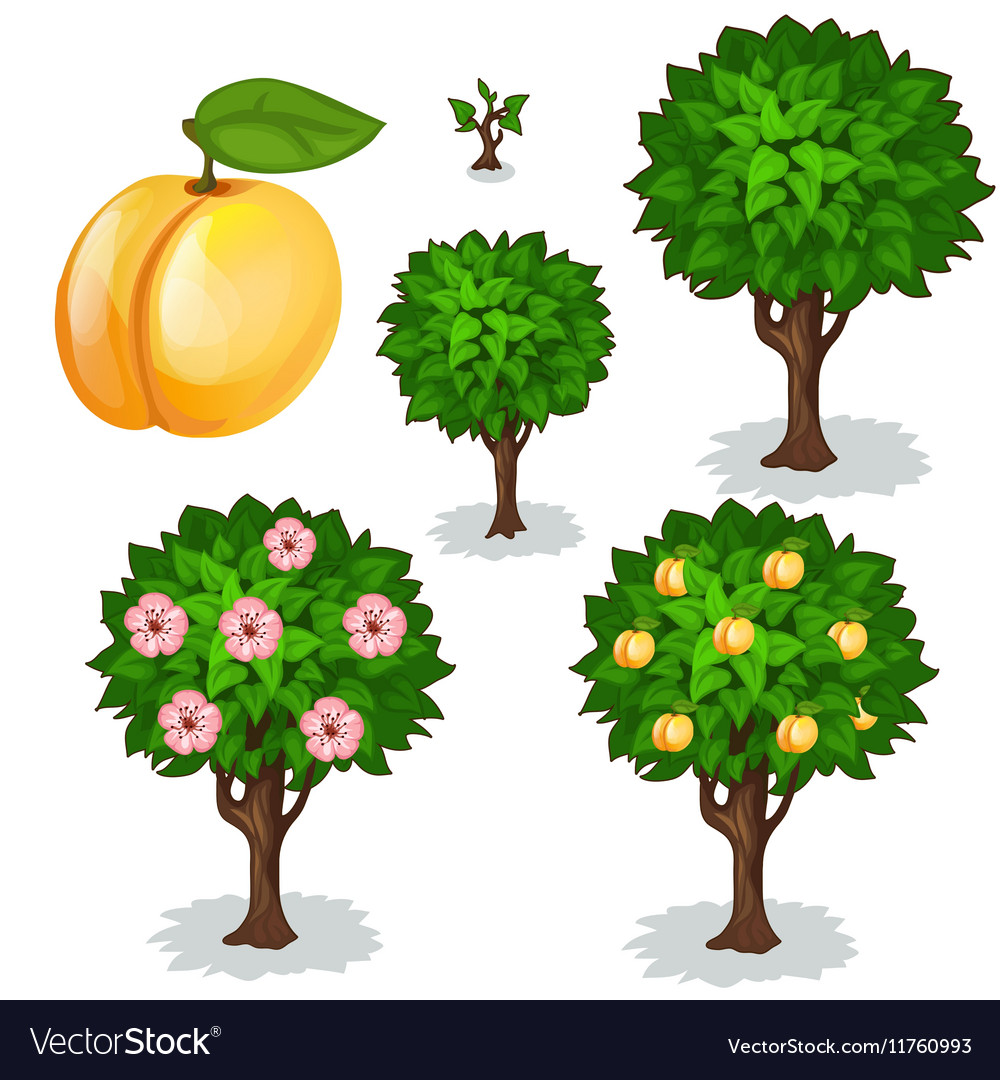 Planting and cultivation of apricot