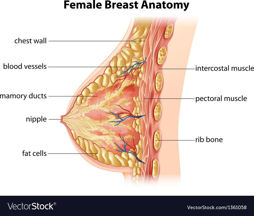 Female Breast Anatomy Royalty Free Vector Image