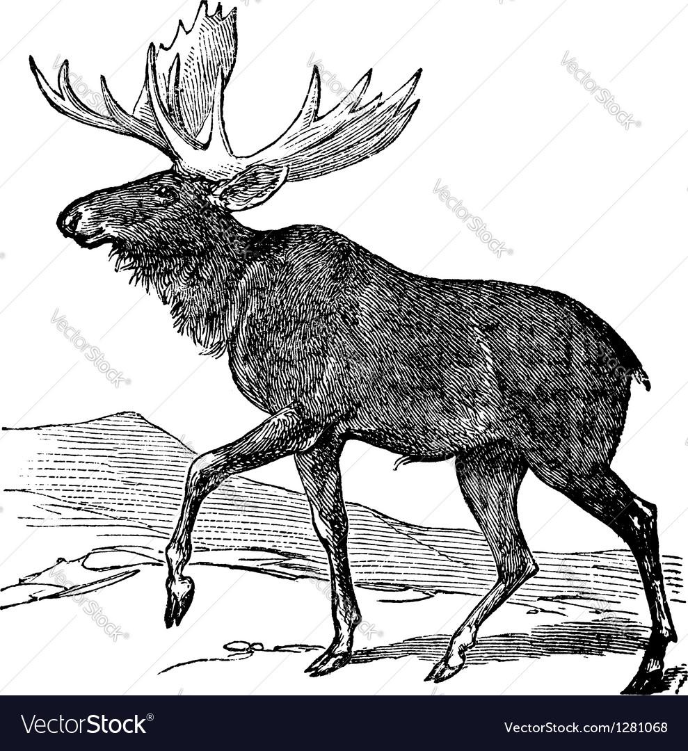 Moose vintage engraving vector image